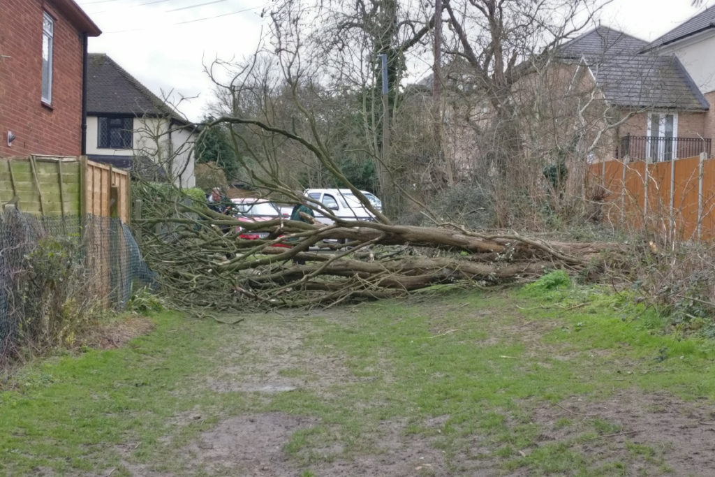 A fallen dead tree at Lower Swaines on 11th March 2021 is being surveyed by Epping Town Council staff prior to commencing the clear-up